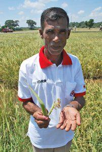 Ein Bauer steht in einem Reisfeld und hält eine Reispflanze in seinen Händen.