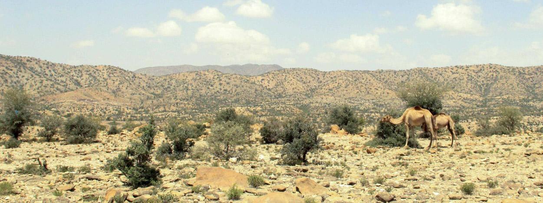 Foto: Kamel in karger Landschaft.