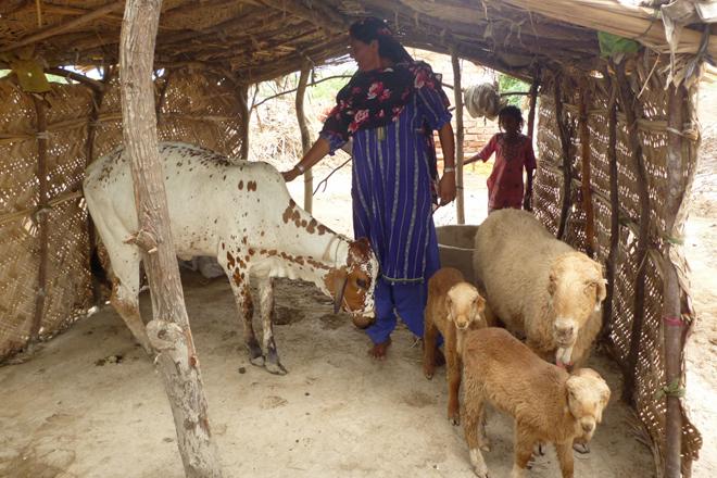Eine pakistanische Frau mit Kalb und drei Ziegen.