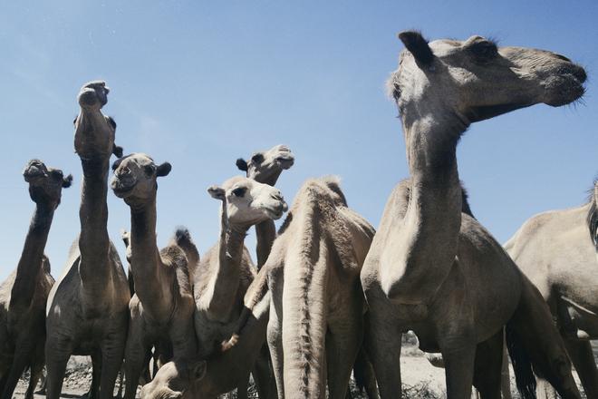 Kamele am Wasserloch