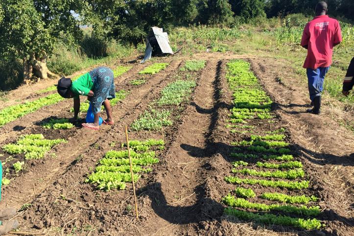 Foto: Garten mit jungen Pflanzen in Mosambik