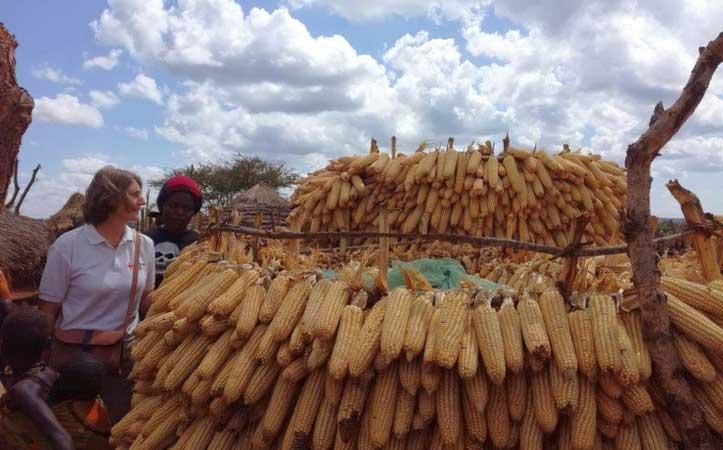 Maiskolben sind zum Trocknen gestapelt