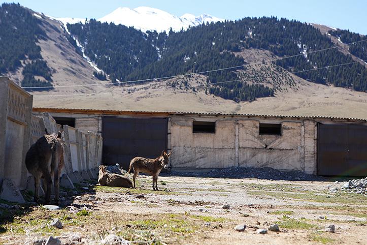 Zwei Esel vor einem Stall in Kirgistans Bergen