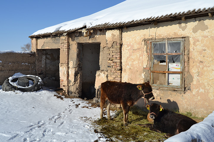 Zwei Kühe vor marodem Schuppen bei Kältewellen