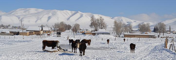 Kühe im Schnee vor kirgisischer Bergkette